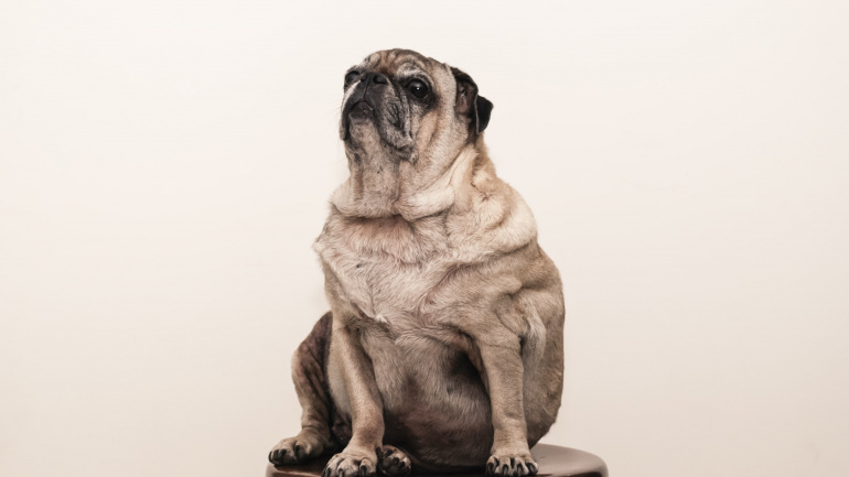 Dog Obesity and its Potential Impact on Your Pup